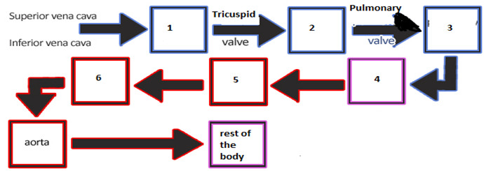 Heart - Pump Of The Circulatory System - Function of the Heart